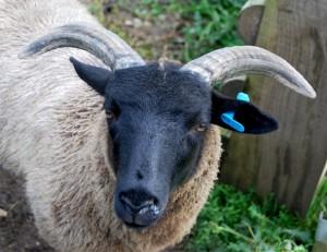 A Norfolk Horn ewe